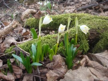 vjesnici proljeća