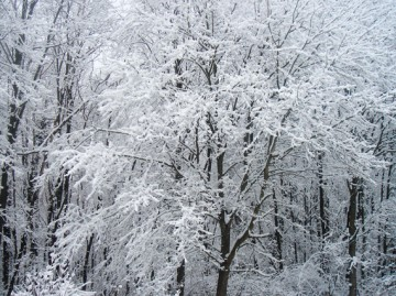 pisanica zimi